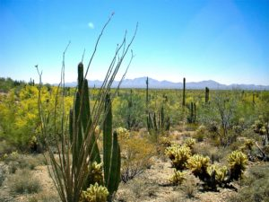 Typical Sonoran Desert landscape.