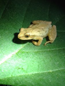 A spring peeper I recently found one evening in Happy Valley Forest.