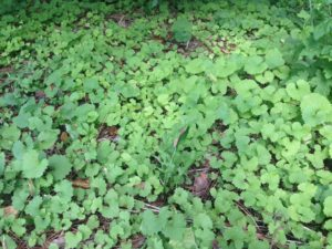 Garlic mustard, one of the worst invasive species in southern and eastern Ontario.